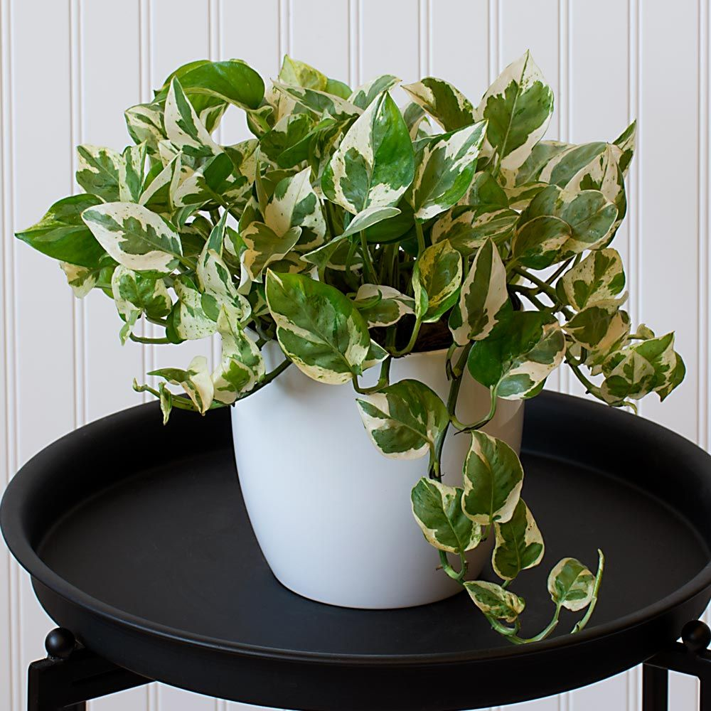 jade plant watering instructions